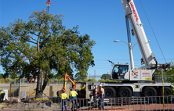 Kurrajong tree relocated for Bayswater Station upgrade